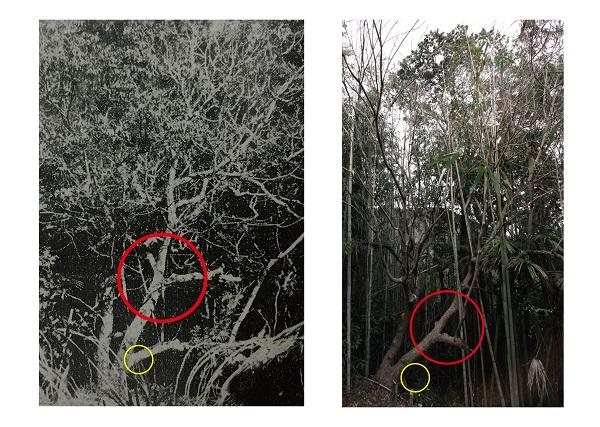 葡萄櫨の原木比較写真-01