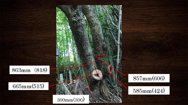 原木のサイズ実測値(文献での大きさ)