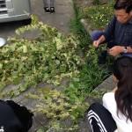 プロジェクト販売 イタドリの花茶