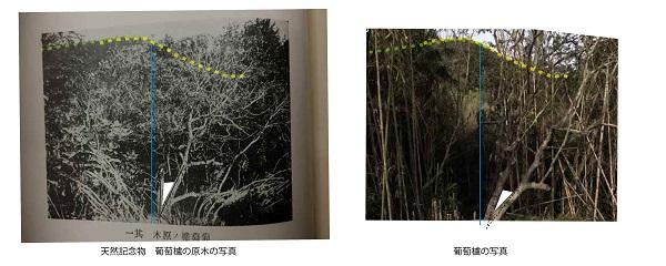 「葡萄櫨の原木」写真鑑定