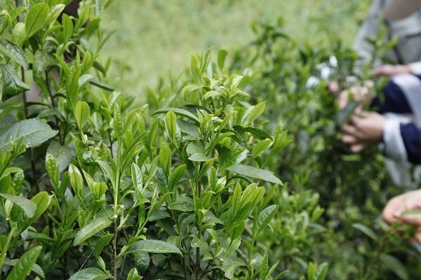 プロジェクト授業「地域おこし」お茶摘み製茶